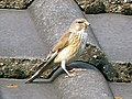 Carduelis cannabina female.jpg