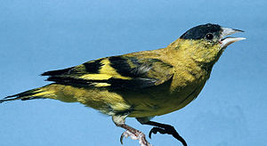 Andean siskin - Image: Carduelis spinescens