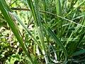 Carex hirta leaf (02).jpg