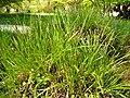 Carex paniculata plant (33).jpg