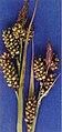 Carexraynoldsii.jpg