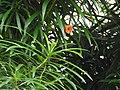Cascabela thevetia-2-bangalore-India.jpg
