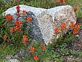 Castilleja peirsonii Peirsons paintbrush around rock.jpg