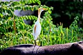 Cattle Egrets are in Symbiotic Relationships with Animals.jpg
