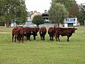 Cattle in Cambridgeshire - geograph.org.uk - 991247.jpg