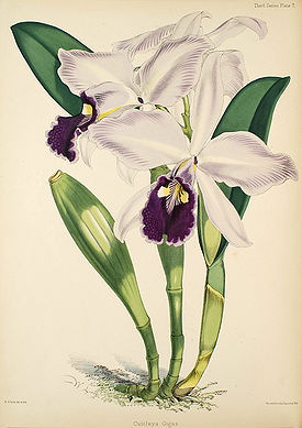 Cattleya warscewiczii (as Cattleya gigas)- Warner, Williams - Select orch. plants 3, pl. 7 (1877-1891).jpg