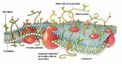 Esquema de la membrana celular