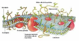 Membrana plasmática - Wikipedia, la enciclopedia libre