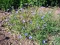 Centaurea cyanus 'cornflower' 2007-06-02 (plant).jpg