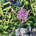 Centaurea jacea at Lac des Plagnes (1).jpg
