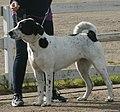 Central Asian Shepherd white & black 1.jpg