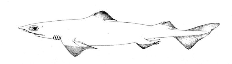 File:Centrophorus granulosus.jpg