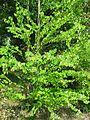 Cercidiphyllum japonicum 01 by Line1.jpg