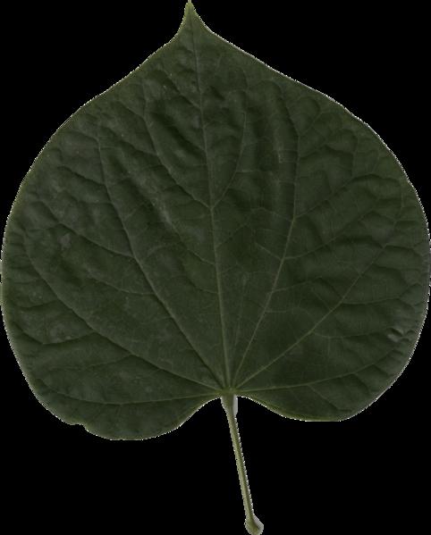 File:Cercis Canadensis Leaf.png