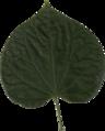 Cercis Canadensis Leaf.png