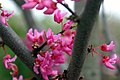 Cercis canadensis Appalachian Red 0zz.jpg