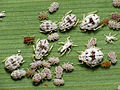 Cereal Aphids (15444456343).jpg
