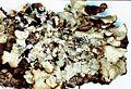 Cetrelia olivetorum-5.jpg