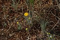 Chaenactis glabriuscula 8138.JPG