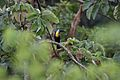 Channel-billed Toucan (Ramphastos vitellinus) (4089510455).jpg