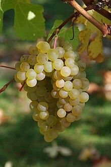 220px-Chardonnay_raisin_cherves dans FLORE FRANCAISE