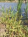 Chenopodium glaucum sl36.jpg