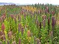Chenopodium quinoa in Cachilaya, Bolivia, Lake Titicaca.JPG