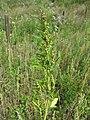 Chenopodium rubrum (s. str.) sl53.jpg