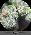 Chenopodium vulvaria sl47.jpg