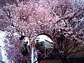 Cherry blossom near Zenpukuji river, Tokyo; July 2006 (17).jpg