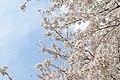Cherry blossom near Zenpukuji river, Tokyo; March 2008 (21).jpg