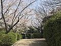 Cherry blossoms in Sasayama Park 12.jpg