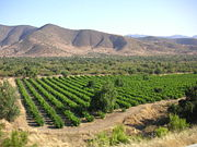 Chilean vineyard in Andes foothills