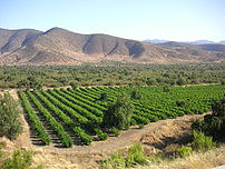 Image of Chilean vineyard in the foothills of ...