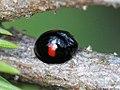 Chilocorus renipustulatus 01.JPG