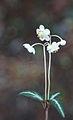 Chimaphila maculata striped wintergreen crop.jpg