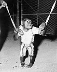 Chimpanzee Enos.jpg