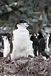 Chinstrap Penguins Half Moon Island Antarctica 5 (46613409194).jpg