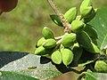 Chionanthus mala-elengi at Aralam WLS (7).jpg