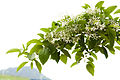 Chionanthus retusus - Chinese Fringetree - 14.jpg