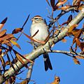 Chipping Sparrow (16187095619).jpg