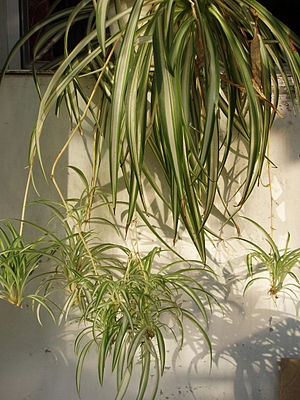Do spider plants reproduce sexually or asexually