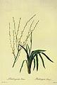 Chlorophytum capense in Les liliacees.jpg