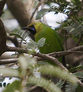 Birds of South Asia. The Ripley Guide - Jerdon's leafbird