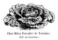 Chou Milan Pancalier de Touraine Vilmorin-Andrieux 1904.png