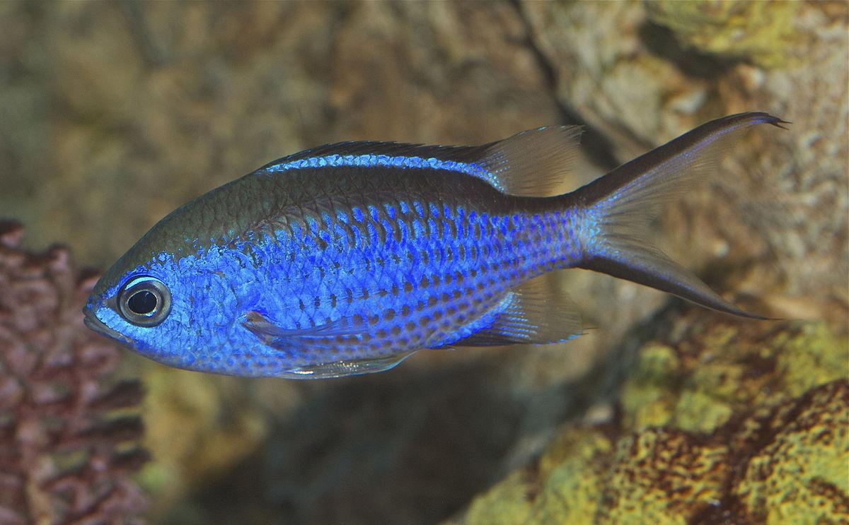 Chromis cyanea wikipedia for Blue fish aquarium