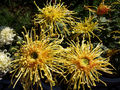 ChrysanthemumMorifolium8.jpg