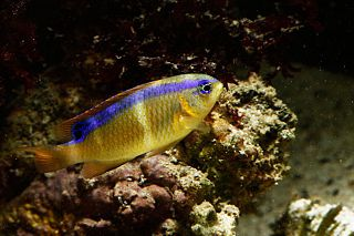 <i>Chrysiptera brownriggii</i> Species of fish