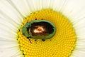 Chrysolina graminis (Chrysomelidae) - Tansy beetle (9520021336).jpg