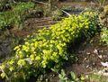 Chrysosplenium alternifolium 170405.jpg